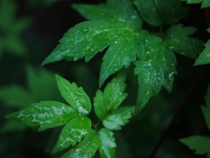 Wendys garden green leaves w rain small